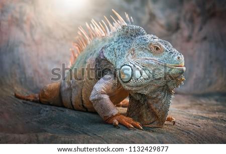 Lizard Iguana, in a cave where lizards live. - Shutterstock ID 1132429877