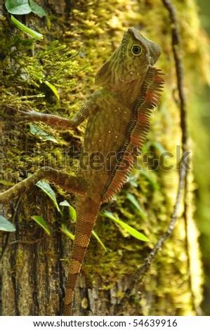 Lizard in  a tree, Danum Valley, Malaysia 2010