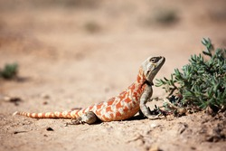 Lizard in desert of Central Asia, Kazakhstan