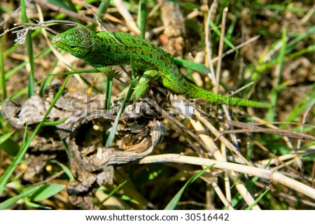 Lizard in grass