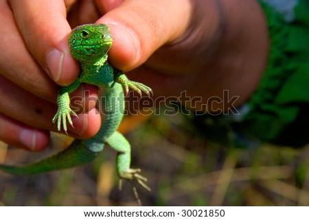 Lizard in hands