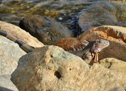 Lizard in sun light close up view.