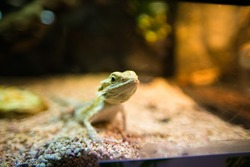 lizard in the aquarium