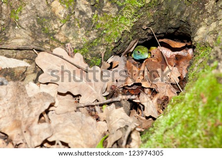 lizard is hiding in the tree hole - stock photo