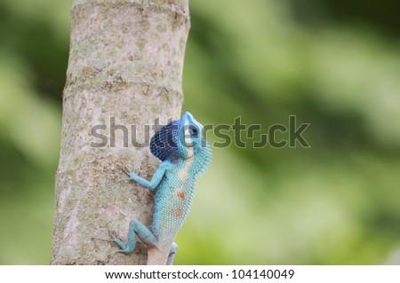 Lizard Island on the tree.(Lacertilia, Sauria)