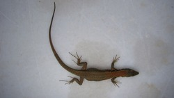 lizard isolated lizard on a white background this lizard, it's called skink animals, animal, reptiles, reptile a smooth-bodied lizard with short limbs, found tropical and temperate regions