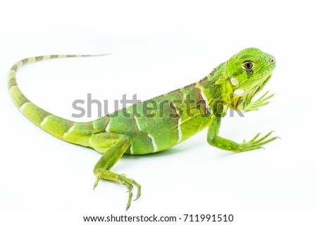 Lizard isolated on white background - Shutterstock ID 711991510