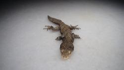 Lizard Kotschy's gecko (Mediodactylus kotschyi, Cyrtodactylus kotschyi) Gecko - close up Amazing Camouflage Animals, Camouflage lizards reptile, reptiles, animals, animal, wildlife, wild nature, woods