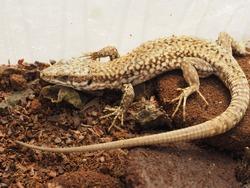 lizard (Lacertilia) animal of phylum Chordata, clade Sauropsida, class Reptilia (reptiles)