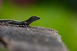 Lizard looking up on a wooden bench