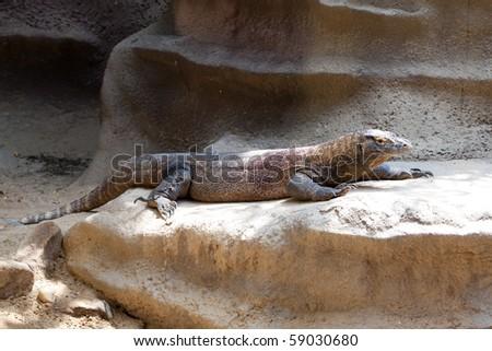 lizard lying on the rocks