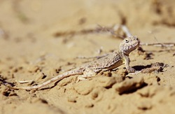 lizard macro asia, wildlife small desert lizard