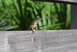 Lizard on a bench in the USA, Florida