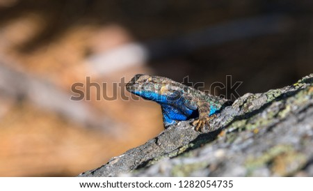 Lizard on a rock during a hicking trip at Marble Fork Kaweah Rivers (Sequoia National Park)