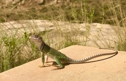 Lizard  on a rock in New Mexico