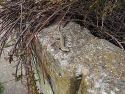 Lizard on a stone. A small brown lizard froze on the stone surface of the parapet in the city park. The animal listens to what is happening around.