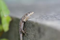 Lizard on a stone wall, climbing up