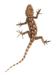 lizard on a white background. Macro