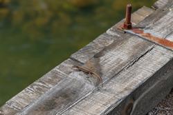 Lizard on a wooden bridge post