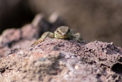 Lizard on the hunt for insects on a hot volcano rock warming up in the sun as hematocryal animal in macro view, isolated and close-up to see the scaled skin of the little saurian in detail