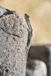 Lizard on the hunt for insects on a hot volcano rock warming up in the sun Lizard standing on the hot rocks in a sunny day, under a hard sun. Sunny day with a lizard on the floor of rocks.