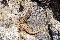 Lizard on the rock. Podarcis muralis (common wall lizard). The common wall lizard is a small, thin lizard whose small scales are highly variable in colour and pattern.