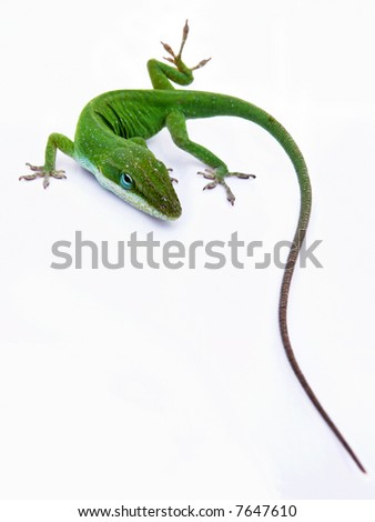 Lizard on white