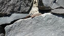 Lizard relaxing and enjoying the sunshine on a rock.