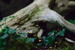 lizard salamander - Tiger salamanders