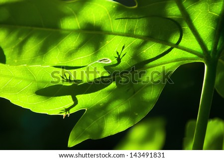 Stock Photo Lizard silhouette on a backlight leaf
