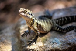 Lizard sitting on brown stone enjoying morning sun. Wildlife in Australia's rainforest, serious looking animal