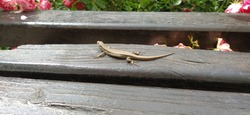 Lizard sunning itself in a small patch of sunshine amongst the shadows on a wooden park bench