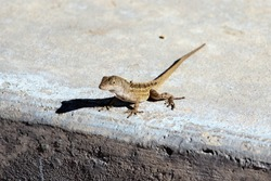 Lizard waiting to cross the street in Florida.