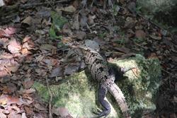 lizard walking between cracked stones