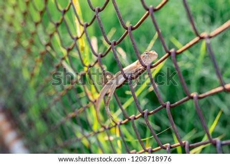 Stock Photo Lizard with iron fence
