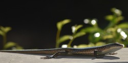 Lizards are a group of four-legged scaly reptiles that are scattered throughout the world
