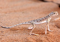 Lizards are a widespread group
