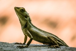 Lizards are a widespread group of squamate reptiles, with over 6,000 species,[1] ranging across all continents except Antarctica, as well as most oceanic island chains. america canada valley reptiles