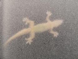 Lizards cling on glass, obscure glass, shadows, animals, and shadows under their belly.