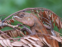 Lizards hide under the leaves for safety.Chameleon changes the color on the red leaf background in the forest of Thailand