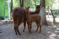 Llama and cub on a blurred background of the farm. A South American camel beast of burden with valuable wool. Selective focus