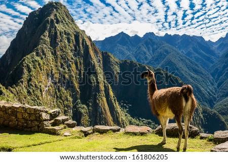 Llama at Machu Picchu, Incas ruins in the peruvian Andes at Cuzco Peru #161806205