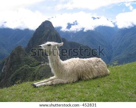 Llama atop Machu Picchu - Peru
