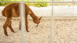 Llama cub, animal Peru, wild llama, herbivore, beast, carrier, cub in prison, captivity, cage, longing, slave, will, llama, brown llama, zoo, farm