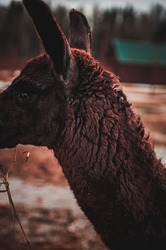Llama eating his food. Animal photo portrait. Wallpaper and Background.