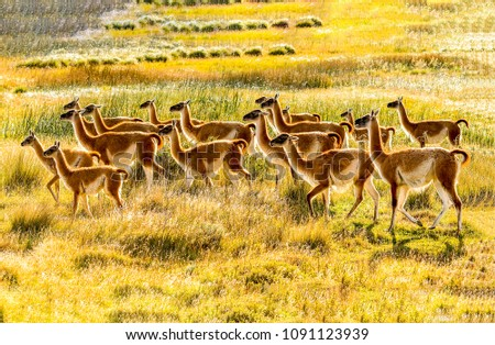 Llama herd in savannah landscape. Llama family view. Lama animals