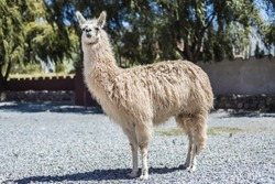Llama in Purmamarca, near Cerro de los Siete Colores (The Hill of Seven Colors), in the colourful valley of Quebrada de Humahuaca in Jujuy Province, northern Argentina.