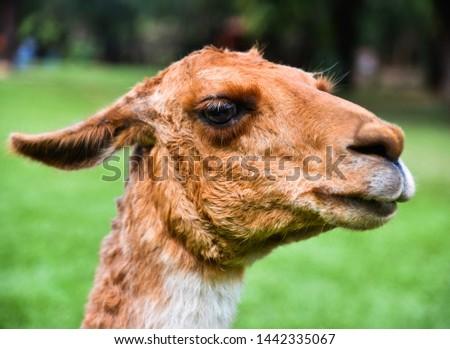 llama, is a ruminant mammal from South America, of the camelidae family, genus Lama. #1442335067