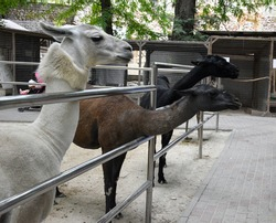 Llama is a white and black South American mammal. alpaca, llama in the corral. A group of llamas in the pen are pulling their necks to be fed. Black and white alpaca in the corral.