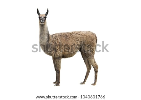 llama isolated on white background